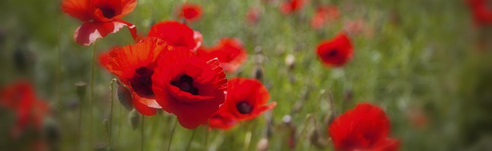Field of WW1 poppies